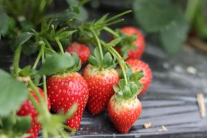 膳食公司告诉你草莓的食用价值及选购技巧